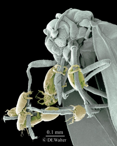 "Broad Mites On White Fly ""hitching a ride"" Source: D.E. Walter"